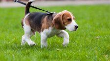 Lead Train Puppy