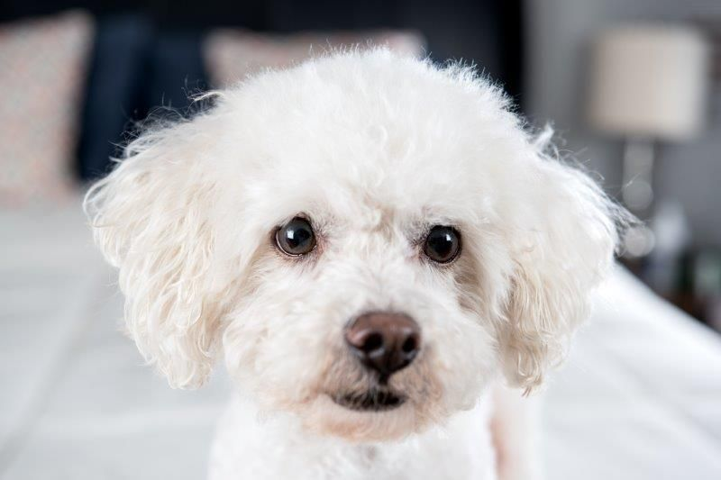 all about bichon frise costs pricing breeders and more pet