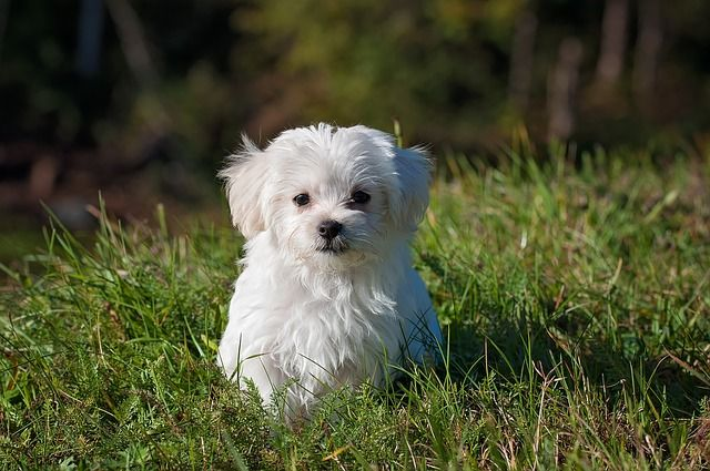 All About Maltese Dogs: Costs, Pricing, Breeders, and More