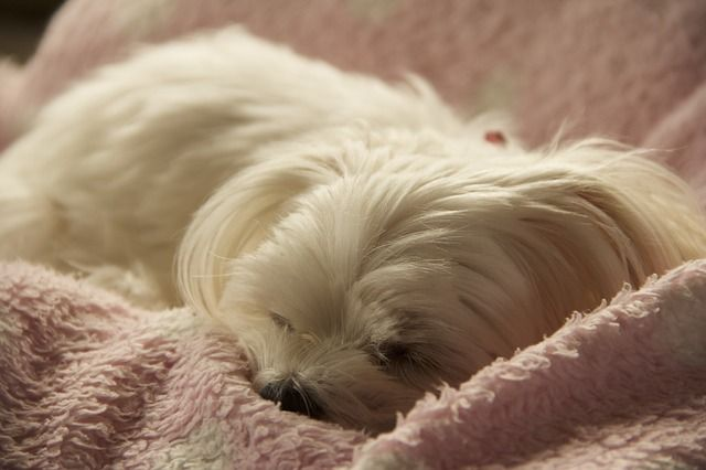 Maltese Dogs Costs Pricing Breeders