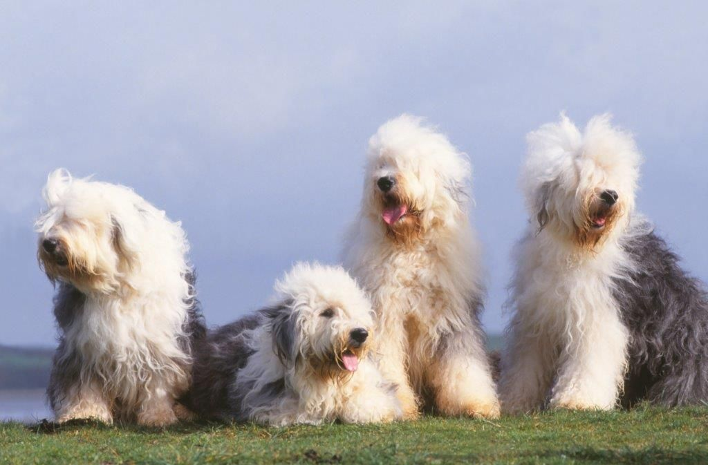 All About The Old English Sheepdog: Costs, Pricing, Breeders