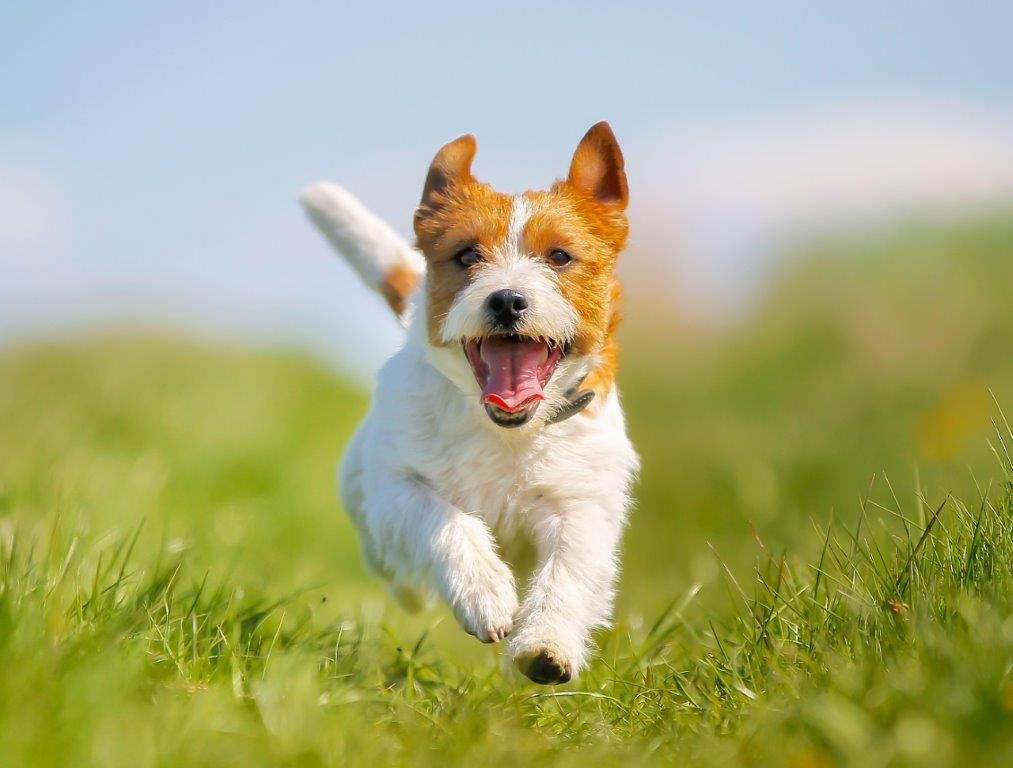 all about the jack russell terrier costs pricing breeders and more
