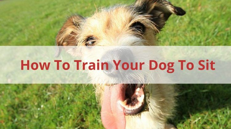 train your dog to sit