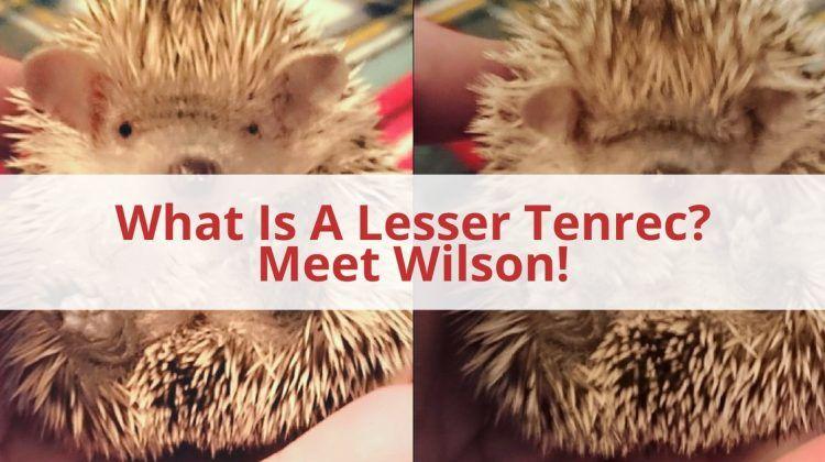 What Is A Lesser Tenrec