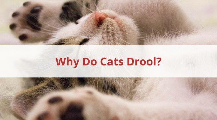 Why Do Cats Drool