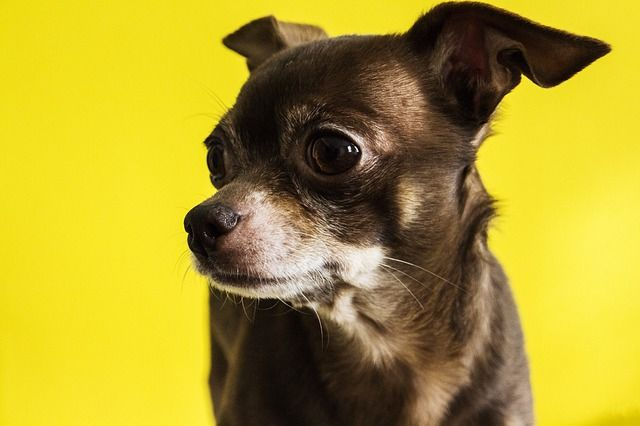 All About The Chihuahua Dog Cost Pricing Breeders Rescues And More