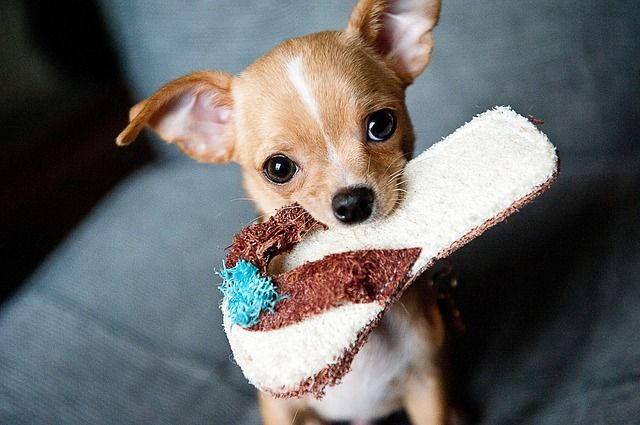 All About The Chihuahua Dog: Cost, Pricing, Breeders
