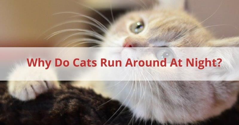 Why Do Cats Run Around At Night