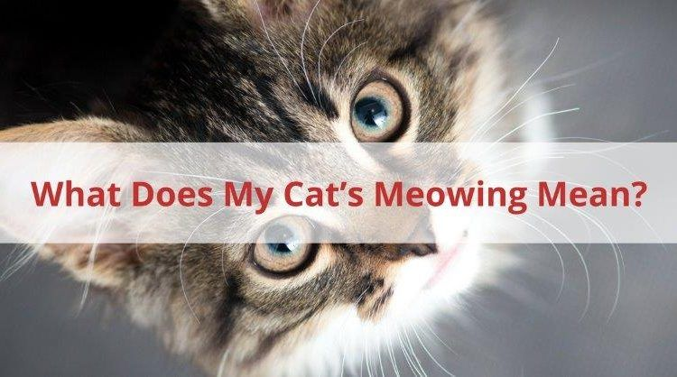What Does My Cats Meowing Mean