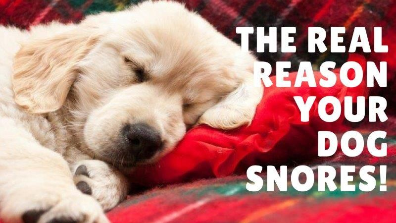 Why do dogs snore