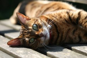 Bengal Cat Green Eyes