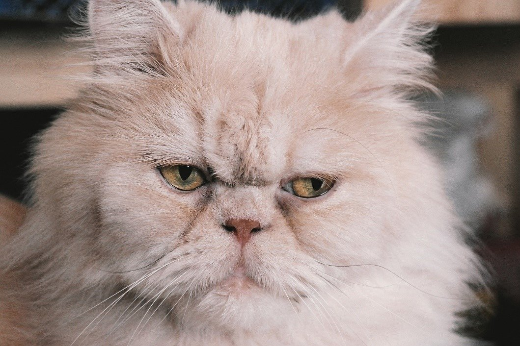 All About Persian Cats: Cost, Personality, Shedding & More