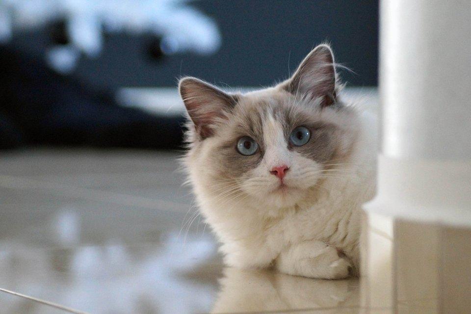 Ragdoll Cat Blue Eyes