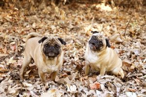 Two Pugs in Leaves